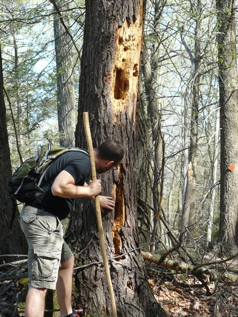 Woodpeckers have been hard at work on this snag. Photo by Cady.